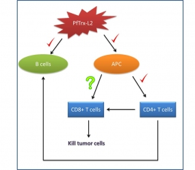 Are thioredoxin-based antigens able to induce CD8+ cytotoxic T-cell responses?
