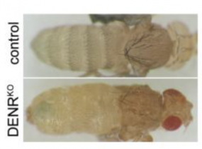 DENR knockout drosophila