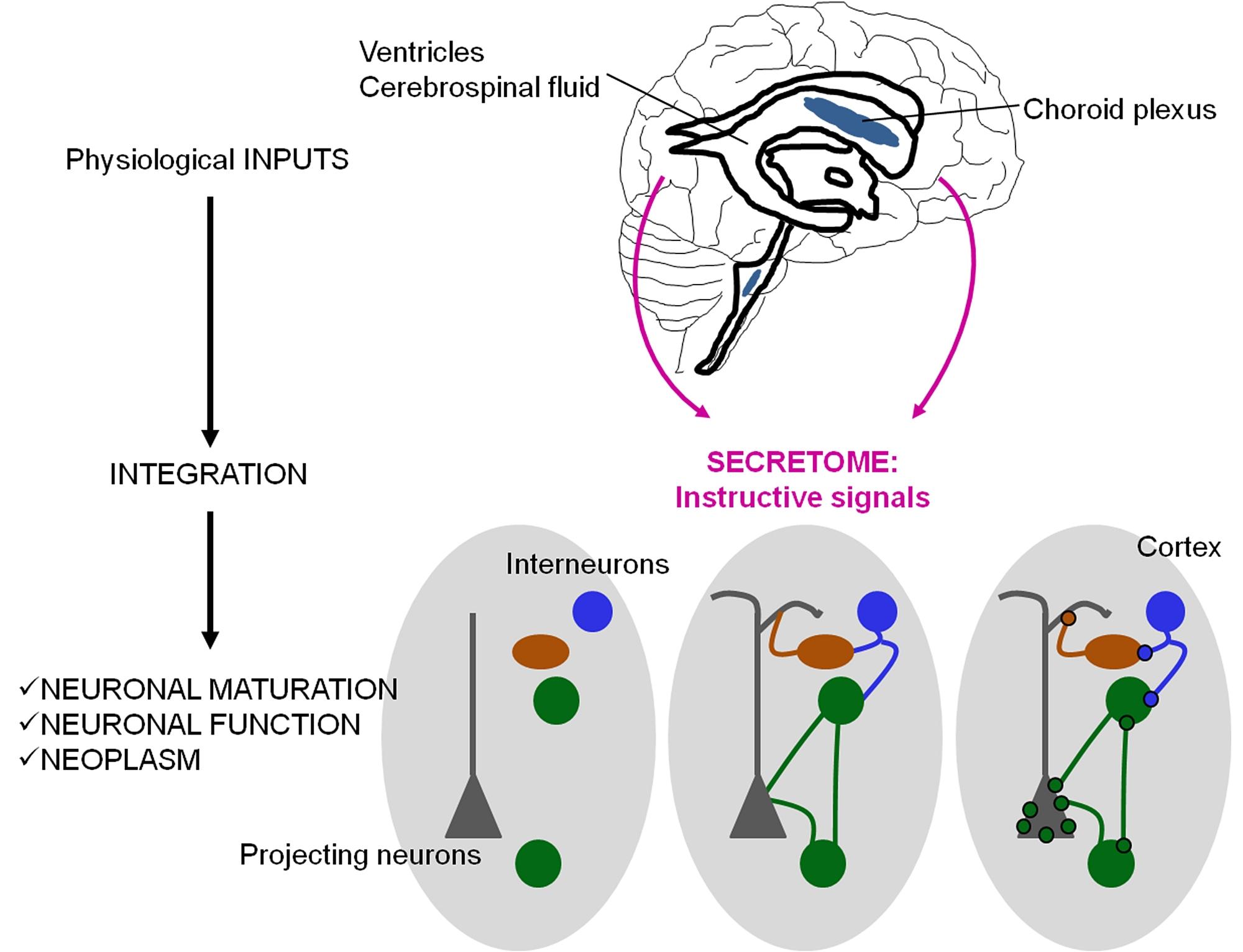 Neuronal signaling and morphogenesis neuronal signaling and morphogenesis dr annarita patrizi ccuart Choice Image