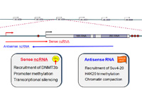 Scheme illustrating the role of noncoding RNA in sense (red) and antisense (blue) orientation in epigenetic regulation of rRNA genes.