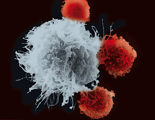 Scanning microscopy image of immune cells