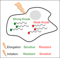 kozak_sequence, Changes in global translation elongation or initiation rates shape the proteome via the Kozak sequence